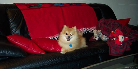 Sammy, a pomeranian, resting on and dominating the whole couch.